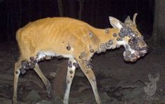 How to Recognize 5 Common, Lethal Deer Diseases when hunting. It just makes me want to but them out of their misery