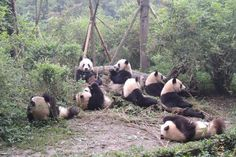 Awwww.... I'd love to see the Pandas in China!