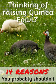 Guiea fowl are well known to be a noisy watchdog that can alert a flock of backyard chickens of a predator attack and also eat a lot of ticks! Unfortunately that is where a guineas good qualities end! After raising these speckled poultray for a dozen years, I've come up with these 14 reasons why you might not actually want guinea fowl for your backyard, homestead or farm. Backyard Poultry, Backyard Chickens, Types Of Poultry, Guinea Fowl, Grow Your Own Food, Raising Chickens, Coops, Quail, Ticks