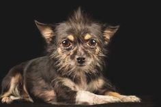Chihuahua Terrier Mix: The 5 Most Popular Mixes Revealed Wheaten Terrier Mix, Chihuahua Terrier Mix, Cairn Terrier, Yorkshire Terrier, Boston Terrier, Shelter Dogs, Animal Shelter, Animal Rescue, Frenchton Dog