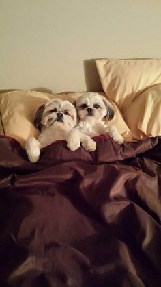 Problems only shih tzu owners will understand