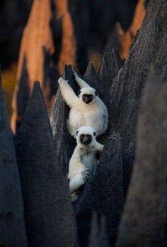 Make the most of Tsingy... #lemurs #tsingy #bekopaka