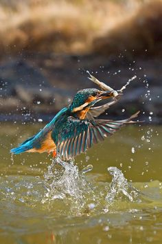 Fish for dinner! A common kingfisher rising from the water in a shower of water droplets. This beautiful bird with iridescent blue feathers is distributed across Eurasia and North Africa. Kinds Of Birds, All Birds, Love Birds, Pretty Birds, Beautiful Birds, Animals Beautiful, Common Kingfisher, Kingfisher Bird, Art Et Nature