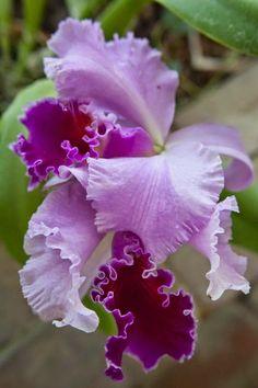 Gorgeous Purple Orchids