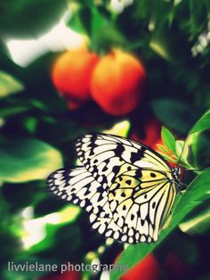 Butterfly photo  Sitting Waiting Wishing  8 x 10 by livvielane, $25.00