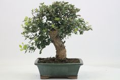 Oak Bonsai Tree available from All Things Bonsai, Sheffield, Yorkshire