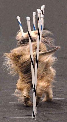 Afghan Hound going through weave poles during an agility run.