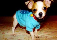 Pomchi teacup puppy