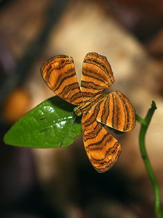 Rounded Maplet - This is the rarest of the Genus found on Samui, and is only to be found in deep forest, where it flies weakly amongst the dappled shade.