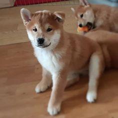 Хирумэ / Hirume  2 months old #shibainu #doge #shibastagram #takeshihana #japandog #ilovemyshiba #myshibainu #dog #shiba #shibadog #shibafunny #shibalife #сиба #doglover #dogs #instagramdogs #shibalove #японскаясобака #puppies #инстаграмзверят #шиба #сиба #puppylove #puppiesofinstagram #柴犬 #puppy #shibapuppy #shibalovers #shibamania #щенок #собакаулыбака  #Regram via @takeshi_hana