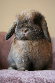 This looks like our mini lopped eared rabbit Houston.
