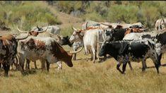 Η ιστορία αλλιώς | Η κατανάλωση κρέατος Cow, Animals, Animaux, Animal, Animales, Animais