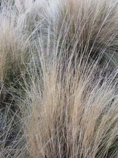 Swathes of mexican feather grass in a dry garden setting. Dry Garden, Gravel Garden, Mexican Feather Grass, Online Nursery, Dutch Gardens, Hardy Perennials, Unusual Plants, Drought Tolerant Plants, Through The Window