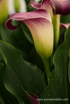 Zantedeschia 'Nashville' is drought tolerant and prefers to be kept slightly on the drier side, it doesn't enjoy being in waterlogged soil or compost.