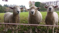 Clyde, Snotty and Bonny My People, Lamb, Animals, Animaux, Animal, Animales, Baby Lamb, Baby Sheep, Animais