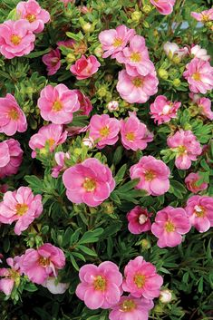 The semi-doubled, pink flowers of native Happy Face Pink Paradise potentilla hold their color longer than other varieties.