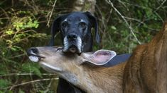 Dog & Deer: BFF. Kate the Dane and her deer friend. VIDEO> --Posted to DESERT HEARTS Animal Compassion -  Phoenix, Arizona --12/24/2013 https://www.facebook.com/desertheartsphoenix