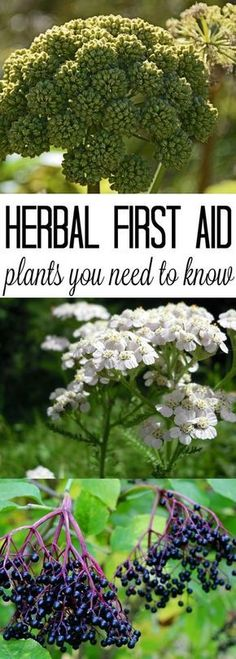Herbal Remedies Herbal First Aid Plants - With so many different herbs to chose from, it can be difficult to know where to start when you want to learn about herbs for first aid. Here are my top five picks and why I keep them on hand. Healing Herbs, Medicinal Plants, Natural Healing, Herbal Plants, Natural Home Remedies, Herbal Remedies, Health Remedies, Natural Medicine, Herbal Medicine