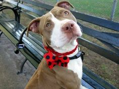 TO BE DESTROYED   10/6/13 Manhattan Center - P. ~SARAIL. My Animal ID # is A0979769.I am a female tan and white pit bull mix. 2 YEARS old. I came in the shelter as a STRAY on 09/22/2013 from  STRAY.  Likely housetrained. She pulls on the leash and will benefit from some training, but other than that is a sweetheart. She did great on behavior assessment, no aggrssion or guarding with food/bone/toy. & got along well with helper dog!  THIS IS A SUPER DOG- don't pass her up!