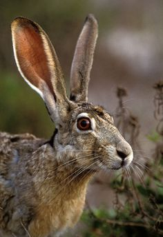 Black-tailed Jackrabbit by Greg Lasley