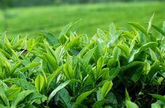 日本人にとっては毎日当たり前のように飲んでいる緑茶もハーブティーの1つ。しかも、様々な効能があり昔から高く評価されていた漢方でもありハーブなのです。健康の為ではなく純粋に味を楽しむ趣向品として緑茶を飲む、そんな日本の習慣も大切にしたいですね。#エッセンシャルオイル#アロマレシピ#アロマテラピー#ハーブ#ガーデニング
