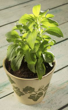 Stevia Winter Plant Care – Tips On Overwintering Stevia Plants