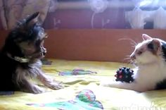 Cat Puts Up A Forcefield Against A Tiny, Tiny Dog | Cat has toy and won't give it back! Poor dog... :)