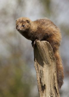 An American Mink.           (British Wildlife Centre.  Photo By: Jlhopgood.)