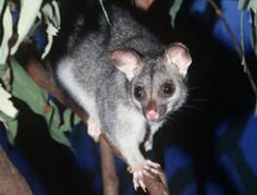Strayban possum deterrent gets rid of possums guaranteed - How to get rid of possums in the garden ...