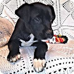 Norristown, PA - Labrador Retriever/Terrier (Unknown Type, Medium) Mix. Meet Swift, a puppy for adoption. http://www.adoptapet.com/pet/12400101-norristown-pennsylvania-labrador-retriever-mix