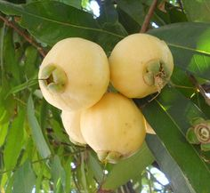 Rose apple (Syzygium jambos) : A rose apple fruit is not a kind of rose. It is not an apple either. It will come from the rose apple tree (that is recognized with lots of titles, with respect to the nation you're in).  Rose apple fruits can also be known as the wax jambu, water apple and also bell fruit. Rose apple fruits usually are bell- or pear-shaped. Several regard them as unpalatable.