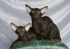 Lilla B show cats