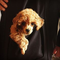 Cutie poodle