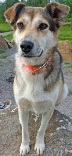 Cali the Husky Mix -- Dog Breed: German Shepherd Dog / Siberian Husky
