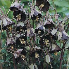 Aquilegia-039-Chocolate-Soldier-039-10-Seeds-Fragrant-Unique-colour-combination