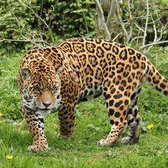 #stately   #leopard