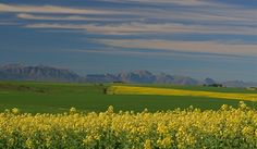 Canola - Swartland South Africa, Golf Courses, Vineyard, African, Mountains, Nature, Travel, Outdoor, Viajes