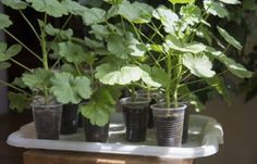 Geranium Plant Propagation: Learn How To Start Geranium Cuttings - Geraniums are some of the most popular houseplants and bedding plants out there. They're easy to maintain, tough, and very prolific. Propagating Geraniums, Growing Geraniums, Plant Cuttings, Growing Plants, Growing Vegetables, Sun Plants, Garden Plants, Indoor Plants, House Plants