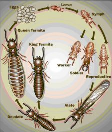 Ecola is your number one choice for alternative termite and pest control. For a green approach to termite control in your home, call BUGS Termite Control, Pest Control Services, Bug Control, Enjoy The Sunshine, Garden Guide, Natural Home Remedies, Life Cycles, Beetles, Vape Tricks