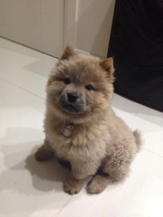 Chow chow baby