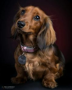 """Excellent """"dachshund pups"""" detail is available on our web pages. Check it out and you wont be sorry you did. Dachshund Breed, Dachshund Funny, Long Haired Dachshund, Weenie Dogs, Dachshund Puppies, Dachshund Love, Cute Puppies, Cute Dogs, Dogs And Puppies"""