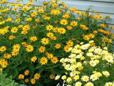 Coreopsis - related to the Sunflower.
