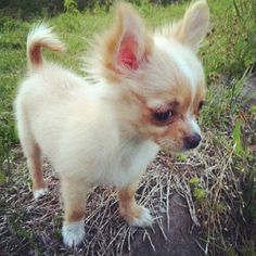 omg long haired chihuahua puppy I want one so bad!!!!!!!!!!!!!!!!!!!!!!!!!!!!!!!