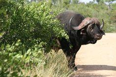 Cape Buffalo taken in Kruger National Park