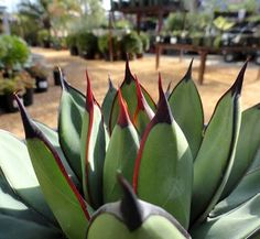 Agave 'Royal Spine' 1