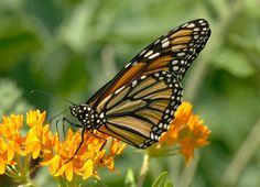 https://flic.kr/p/Wr84ax | Monarch Butterfly | First sighting of a Monarch in our Southern New Jersey backyard habitat and butterfly garden.