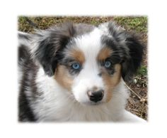 miniature australian shepherd | leave here without one!!