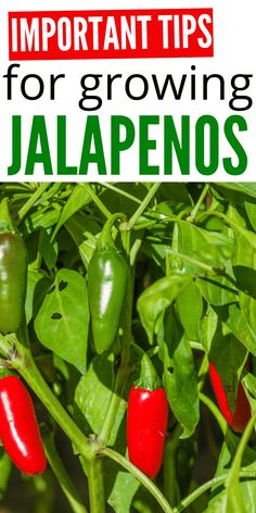 Important Tips For Growing Jalapeños that you will want to know for growing the best crop you can. From tips and tricks to must know secrets. I spill all the secrets. Vegetable Garden Tips, Container Gardening Vegetables, Veg Garden, Planting Vegetables, Succulent Containers, Container Flowers, Container Plants, Veggie Gardens, Growing Jalapenos