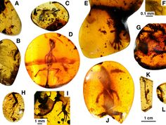 Lizards preserved in mid-Cretaceous amber from Myanmar.<br />