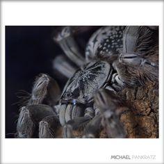 Togo Starburst Tarantula